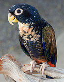 A blue parrot with a beige throat and speckles extending across the underside, brown wings with blue-edges, and a red underside of the tail