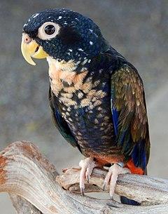 Cuál es el peso adecuado para nuestros loros? 240px-Bronze-winged_Parrot_%28Pionus_chalcopterus%29
