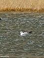 Brown-headed Gull (Larus brunnicephalus) (33057903521).jpg