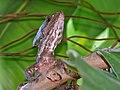 Brown Basilisk (Basiliscus vittatus) (6781402447).jpg