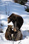 Brown Bears Nationalpark Bayerischer Wald 09.jpg