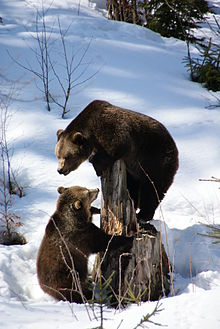 Orsi bruni nel Nationalpark Bayerischer Wald.