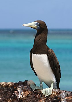 Brown booby sitting upright