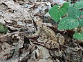 Brown frog on withered leaves.jpg