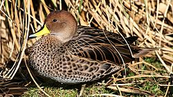 Brown pintail (Anas georgica spinicauda) (4).jpg