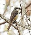 Brown shrike (philippine ).jpg