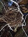 Brunneocorticium corynecarpon 486490.jpg