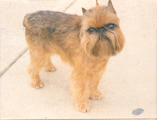 Gifts for Brussels Griffon Dog Lovers
