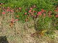 Bryophyllum delagoense habit1 (12079240064).jpg