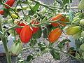 Buah tomato ceri (4).JPG