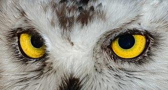 Bubo scandiacus - Karlsruhe Zoo 01.jpg