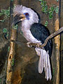Bucerotidae - Berenicornis comatus.jpg
