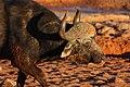 Buffalo syncerus caffer.jpg