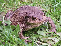 Fig. 1  Un crapaud commun, Pologne, 2004