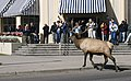 Bull elk crossing street at Mammoth Hot Springs Restaurant (5eb2010b-8055-4ef1-9ab9-95e15e63bf24).jpg
