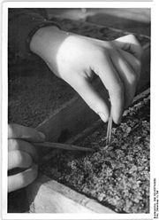 Bundesarchiv Bild 183-05574-0050, Pikieren von Sinningien