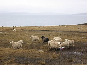 Burray Sheeps.jpg