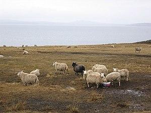 Burray - Sheep on Burray