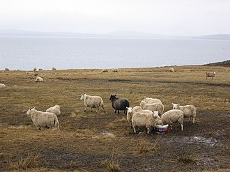 Burray - Sheep on Burray