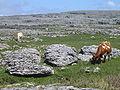 Burren cows (mrmystery).jpg