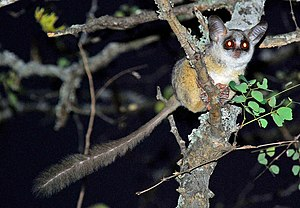 Galago - Bushbabies