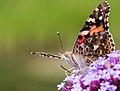 Butterfly (27873611604).jpg