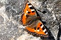 Butterfly (4863080652).jpg