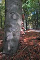 By a group attack of these (Sombere honingzwammen) it is possible to demolish this giant old beech at Rozendaal - panoramio.jpg
