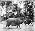 COLLECTIE TROPENMUSEUM Batakse varkens op Sumatra TMnr 10013365.jpg