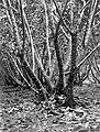 COLLECTIE TROPENMUSEUM Mannen aan het werk in een ingekerfde rubberboom TMnr 10023832.jpg