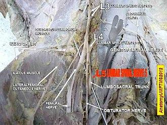 Lumbar nerves - Image: CORECTAT