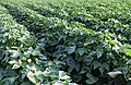 COTTON PLANTS wide (49168984747).jpg