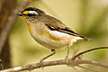 CSIRO ScienceImage 10353 Striated Pardalote.jpg