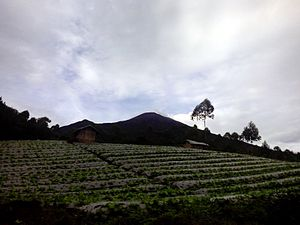 Pemalang Regency - Cabbage farm with the peak of Mount Slamet in the background in Camara hamlet of Batursari village, Pemalang.