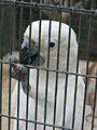 Cacatua alba -Paphos Zoo -aviary-6.jpg