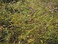 Caesalpinia mimosoides (6927463699).jpg