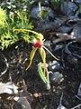 Caladenia magniclavata.jpg
