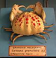 Calappa granulata - Museo Civico di Storia Naturale Giacomo Doria - Genoa, Italy - DSC03234.JPG