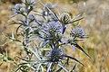 Calcatreppola ametistina (Eryngium amethystinum) (7900983466).jpg