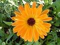 Calendula officinalis flower 2.JPG