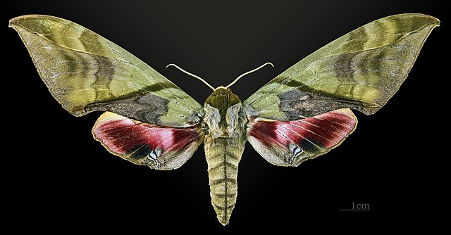 Sưu tập Bộ cánh vẩy 2 - Page 5 640px-Callambulyx_amanda_MHNT_CUT_2010_0_14_Malaisie_femelle_dorsal