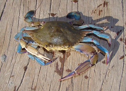 Saltwater True Crab Photos
