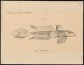 Callionymus lunatus - 1700-1880 - Print - Iconographia Zoologica - Special Collections University of Amsterdam - UBA01 IZ13600131.tif