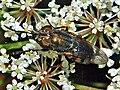Calliphoridae - Stomorhina lunata.JPG