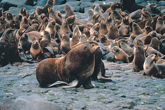 Northern fur seal - Male and harem