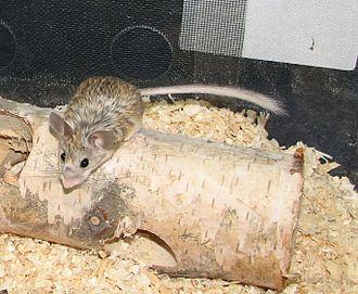 Mouse-like hamster - Image: Calo 03
