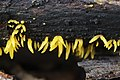 Calocera cornea (36488332135).jpg