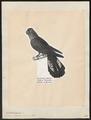 Calyptorhynchus solandri - 1809-1845 - Print - Iconographia Zoologica - Special Collections University of Amsterdam - UBA01 IZ18600029.tif