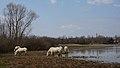Camargue horses Nature.jpg