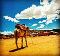 Camel at Agadir beach.jpg